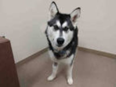 Adopt WYLEE DEE a Black - with White Alaskan Malamute / Mixed dog in Aurora