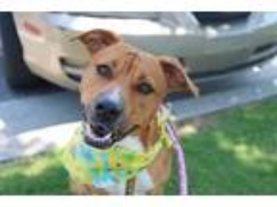 Adopt Lita a Tan/Yellow/Fawn Pit Bull Terrier / Mixed dog in Claremore