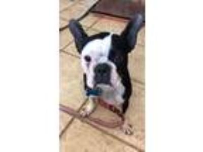 Adopt Daisy a Black - with White Boston Terrier / Mixed dog in Plainfield
