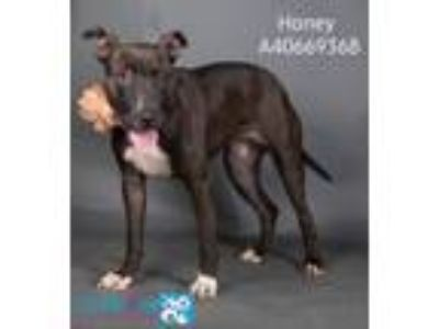 Adopt Honey a Pit Bull Terrier, Mixed Breed