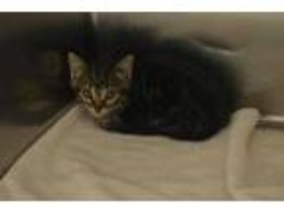 Adopt 58157 Snickers a Brown or Chocolate Domestic Mediumhair / Domestic