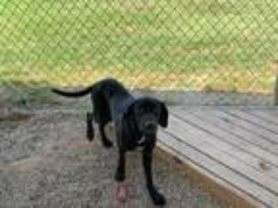 Adopt smiley wiley a Black Labrador Retriever / Mixed dog in Joshua