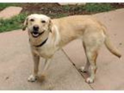 Adopt Penelope a Tan/Yellow/Fawn Labrador Retriever / Mixed dog in Atlanta