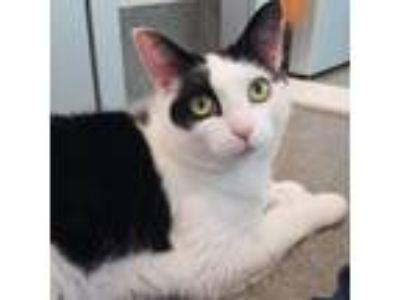 Adopt Bitsy a White Domestic Shorthair cat in Middletown, RI (25491089)