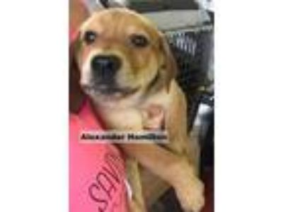 Adopt Alexander Hamilton a Tan/Yellow/Fawn Mastiff / Rottweiler / Mixed dog in