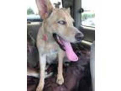Adopt Luna a German Shepherd Dog, Husky