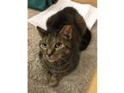 Adopt Kitty Wampus a Brown Tabby Domestic Shorthair / Mixed (short coat) cat in