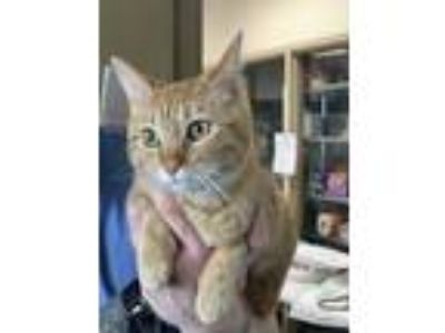 Adopt Luna a Orange or Red Domestic Shorthair / Domestic Shorthair / Mixed cat