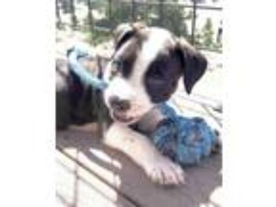 Adopt The Movie Pup-corn Litter - Butter a Border Collie, Boxer