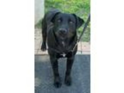 Adopt ROCKY a Labrador Retriever, Border Collie