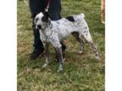 Adopt Willie a Gray/Blue/Silver/Salt & Pepper English Pointer / Mixed dog in