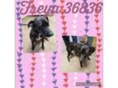 Adopt Freya a Labrador Retriever, Pointer