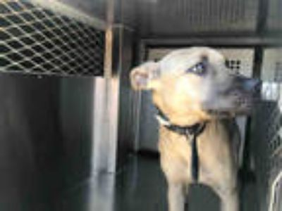 Adopt LADY* a Tan/Yellow/Fawn - with Black American Pit Bull Terrier / German