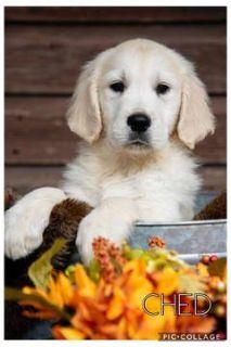 English Cream Golden Retriever  PUPPY FOR SALE ADN-103257 - English Cream Puppies