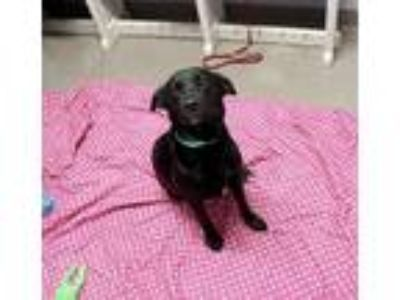 Adopt Dawn a Black Labrador Retriever / Mixed dog in Bloomingdale, IL (25335459)