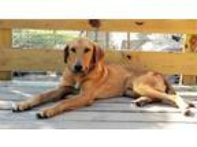 Adopt Jameson a Retriever, Hound