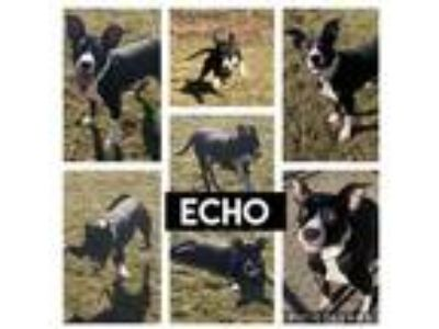 Adopt 11904 Echo a Black American Pit Bull Terrier / Mixed dog in Erie