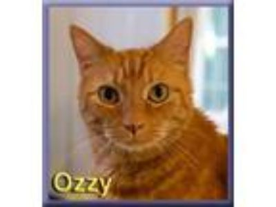 Adopt Ozzy a Orange or Red Tabby Domestic Shorthair (short coat) cat in Aldie