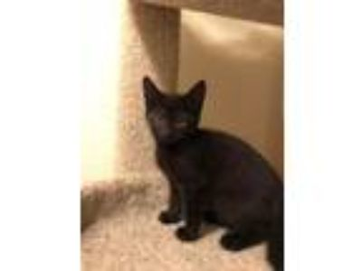 Adopt Begone a All Black Domestic Shorthair / Mixed cat in Battle Ground
