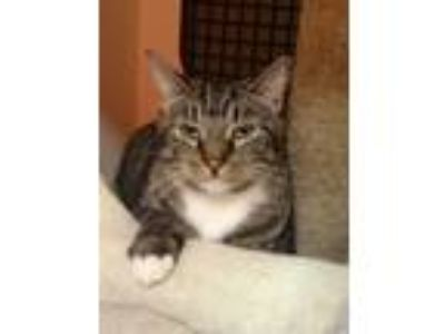 Adopt Bobby a Brown Tabby Domestic Shorthair (short coat) cat in Little Falls