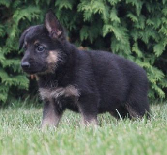 German Shepherd Dog PUPPY FOR SALE ADN-89377 - Amazing AKC German  Shepherd Puppies