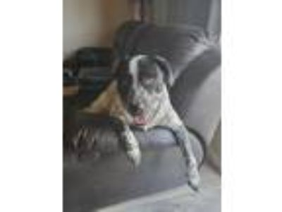 Adopt Chloe a Black Australian Cattle Dog / Australian Shepherd / Mixed dog in