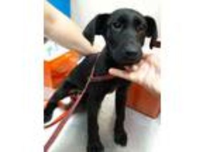 Adopt 41976983 a Black Labrador Retriever / Mixed dog in Mesquite, TX (25594487)
