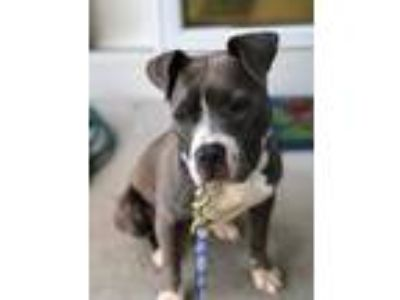 Adopt Irie a Pit Bull Terrier, Mixed Breed