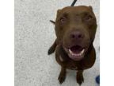 Adopt Mirror a Brown/Chocolate Mixed Breed (Medium) dog in Jacksonville