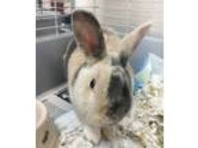 Adopt THUMP a Cream Californian / Californian / Mixed rabbit in Houston