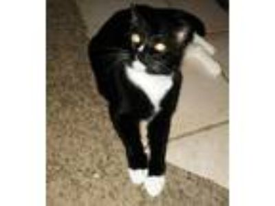 Adopt Sylvester a Black & White or Tuxedo Domestic Shorthair / Mixed cat in