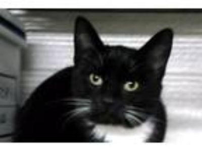 Adopt Tina a Black & White or Tuxedo Domestic Shorthair (short coat) cat in