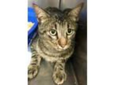 Adopt Tully a Domestic Short Hair