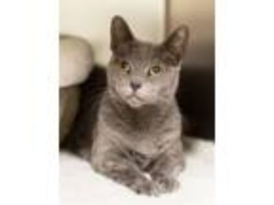 Adopt Zenobia (noni) a Domestic Short Hair
