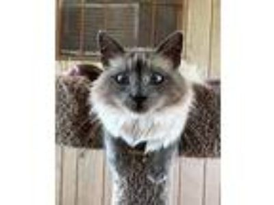 Adopt Jane a Domestic Medium Hair, Siamese