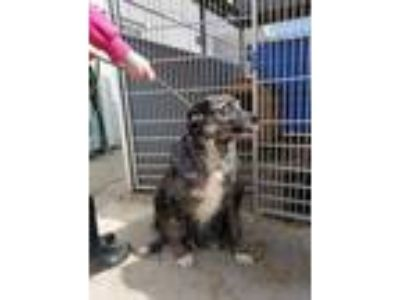 Adopt Clutch a Brown/Chocolate Catahoula Leopard Dog / Mixed dog in Ottumwa