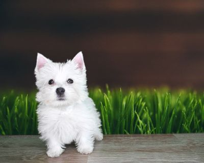 Chewy is a sweet White Highland White Terrier!
