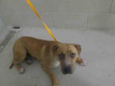 Adopt BUTTER a Brown/Chocolate - with White Hound (Unknown Type) / Mixed dog in