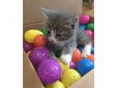 Adopt Mars a Gray, Blue or Silver Tabby Domestic Shorthair (short coat) cat in