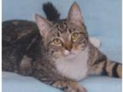 Adopt Snickers a Gray, Blue or Silver Tabby Domestic Shorthair (short coat) cat