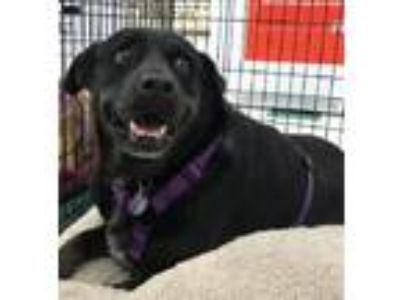 Adopt Bree a Border Collie / Rottweiler dog in Richardson, TX (15833601)