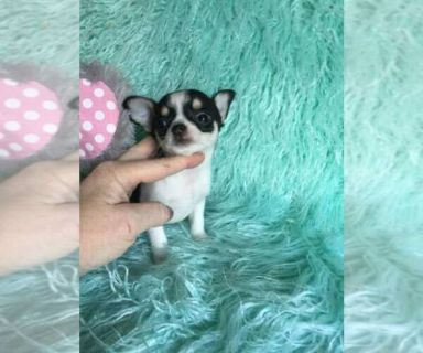 Chihuahua PUPPY FOR SALE ADN-127167 - Teacup Applehead  chihuahua dollface