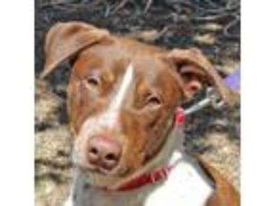 Adopt Crikey a White - with Brown or Chocolate Pointer / German Shepherd Dog /