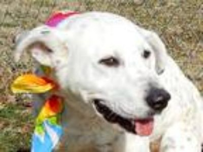Adopt Chevy a White - with Black Pointer / Dalmatian / Mixed dog in Rogers