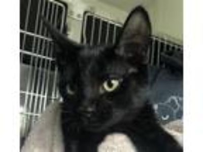 Adopt Lance a Domestic Short Hair