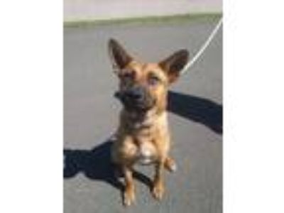 Adopt SHEBA a Brown/Chocolate German Shepherd Dog / Chow Chow / Mixed dog in