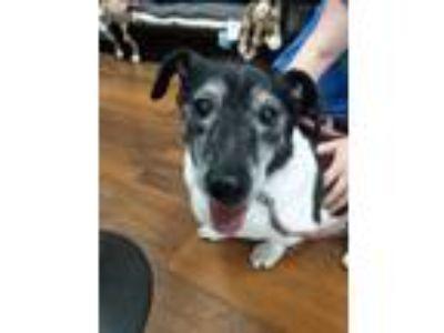 Adopt Nathan a Basset Hound, Terrier