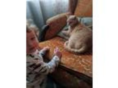 Adopt Julius a Orange or Red American Shorthair cat in Lakeland, FL (25784926)
