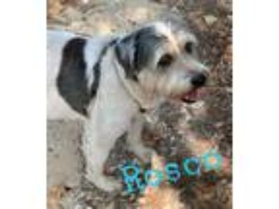Adopt Rosco a Bearded Collie, Wire Fox Terrier