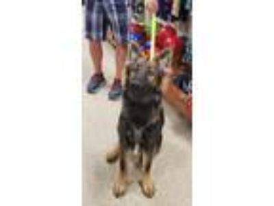 Adopt Gabriel a Brown/Chocolate - with Black German Shepherd Dog / Mixed dog in